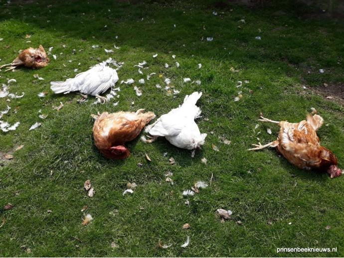 Kippen niet veilig voor de vos