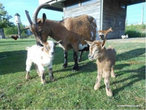 Wie helpt bij voederen geitjes park?